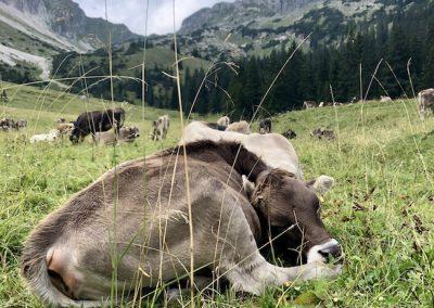 Alpe Hinterentschen: Besuch beim Jungvieh